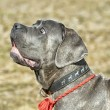 Stock Photo: Cane Corso