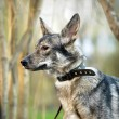 Gray mongrel dog — Stock Photo