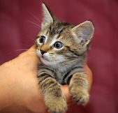 Striped kitten in arms — Stock Photo