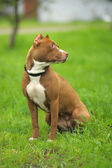 Image of brown pit bull lying on the green grass near the house — Foto Stock