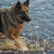Shepherd in water — Stock Photo