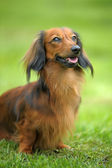 Long-haired dachshund on green grass — Stock Photo