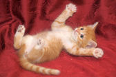 Funny red-haired kitten playing — Stock Photo