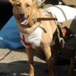 Retrato de un perro especialmente entrenado médico — Foto de Stock