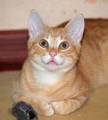 Lindo gato vermelho deita no chão com um brinquedo favorito — Fotografia Stock
