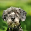 Dog portrait on a green background — Stock Photo #28041573