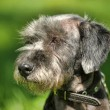 Dog portrait on a green background — Stock Photo #28041625