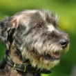 Dog portrait on a green background — Stock Photo #28041761