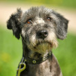 Dog portrait on a green background — Stock Photo #28042943