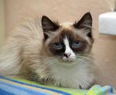 Portrait of a beautiful Siam cat — Stock Photo