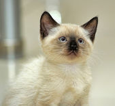 Charming Siamese kitten — Stock Photo