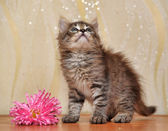 Fluffy kitten with a flower — Stock Photo