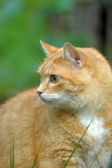 Redheaded cat on green grass — Photo