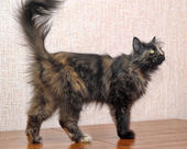 Fluffy tortoiseshell cat — Stock Photo