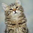 Maine Coon cat, 4 months old — Stock Photo #30447147