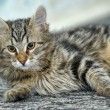 Maine Coon cat, 4 months old — Stock Photo #30447909