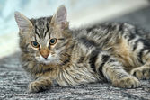 Maine Coon cat, 4 months old — Stock Photo