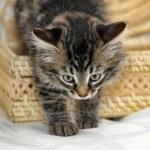 Kitten in basket — Stock Photo #30571587