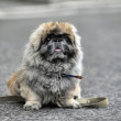 Fluffy Pekingese — Stock Photo