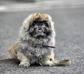 Fluffy Pekingese — Stock Photo