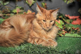 Red classic tabby Maine Coon cat — Stock Photo