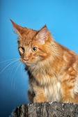 Red classic tabby Maine Coon cat — Foto de Stock