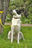 White dog with black spots on the nature — Stok fotoğraf