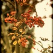 Bunch of mountain ash on a branch in autumn — Stock Photo