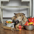 Dog chef in the kitchen — Stockfoto