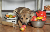 Dog chef in the kitchen — Stock Photo