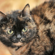 Tortoiseshell cat sits — Stock Photo