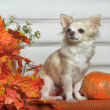 Chihuahua — Stock Photo #33339739