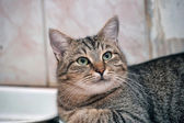 Portrait of a large tabby cat — Stock Photo