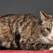 Tabby cat with red Christmas decorations — Stock fotografie