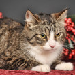 Tabby cat with red Christmas decorations — Stock Photo #34405539
