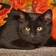 Black cat with orange pumpkins and autumn leaves — ストック写真