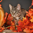 Tabby cat among the orange autumn maple leaves — Stock Photo