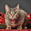 Tabby cat with red Christmas decorations — Stock Photo #34414843