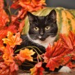 Black cat with orange pumpkins and autumn leaves — Stock Photo