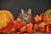 Tabby cat among the orange autumn maple leaves — ストック写真