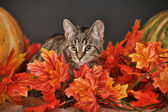 Tabby cat among the orange autumn maple leaves — Стоковое фото