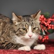 Tabby cat with red Christmas decorations — Lizenzfreies Foto