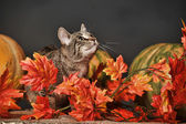 Tabby cat among the orange autumn maple leaves — Photo