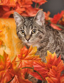 Tabby cat among the orange autumn maple leaves — 图库照片