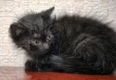 маленький черный пушистый котенок — Стоковое фото