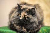 Fluffy tabby cat — Stock Photo