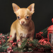 Chihuahua Christmas — Stock Photo