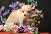 Chihuahua and flowers — Stock Photo