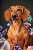 Brown dachshund — Stock Photo