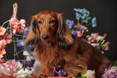 Dachshund and flowers — Stock Photo